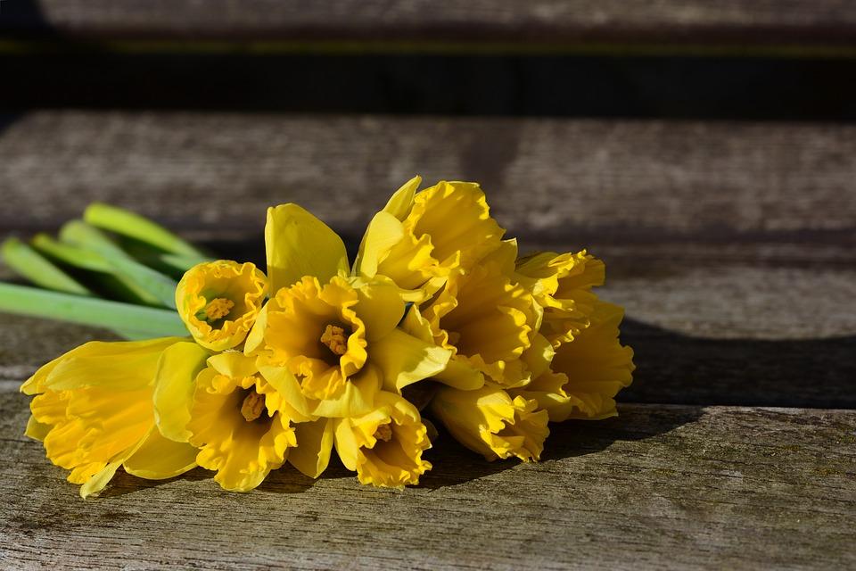 daffodils-3152611_960_720